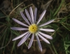 Aster ? 1/2